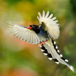 Flying bird of paradise